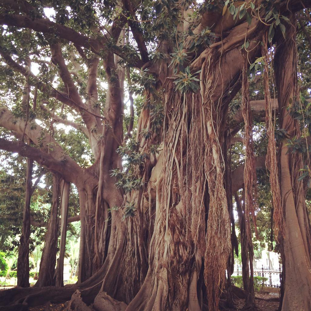 Palermo: Der älteste Feigenbaum Europas erzählt